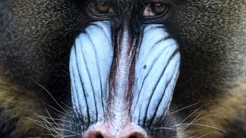 Auffällige Affen haben kleine Hoden