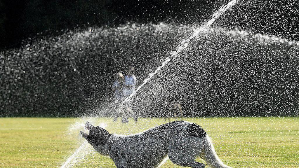 Ein Hund geniesst die Abkühlung in einem Park in Sydney - der Südosten Australiens leidet unter einer extremen Hitzewelle mit Temeraturen von weit über 40 Grad.