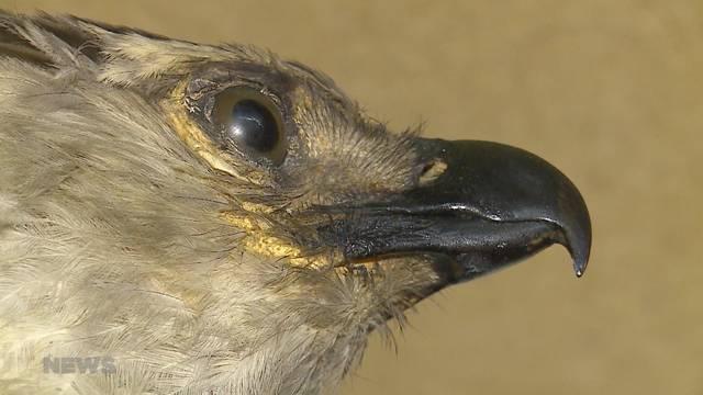 Schräger Vogel klaut seltene Federn