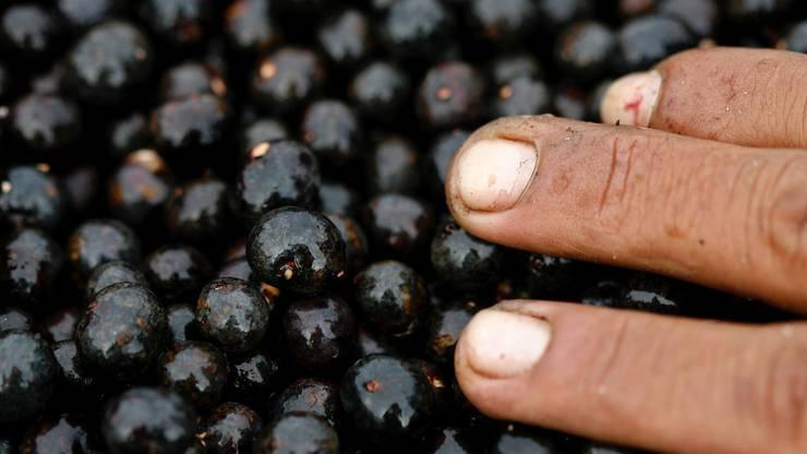 Die südamerikanische Frucht Açai. Daraus macht man beispielsweise Eis - dieses ist momentan besonders beliebt als Açai-Bowl mit Früchten.