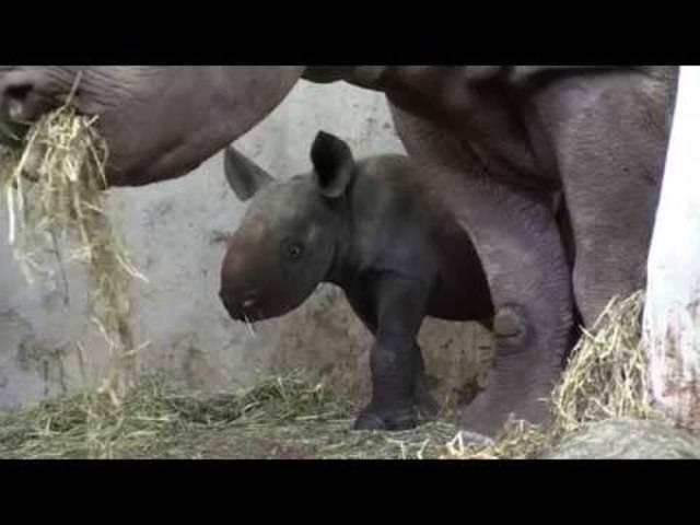 Jööö: Das junge Nashorn Olmoti im Zoo Zürich