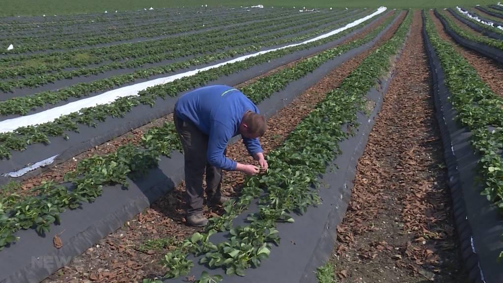 Berner Bauern fehlen ausländische Erntehelfer