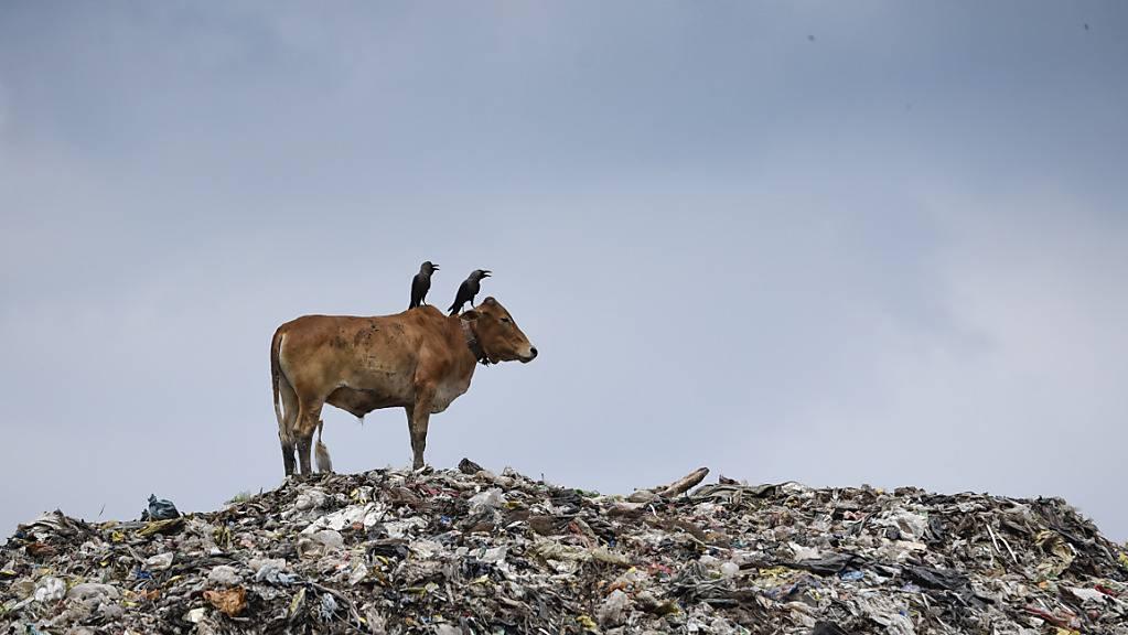 ARCHIV - Eine Kuh, auf dessen Rücken zwei Krähen sitzen, steht auf einer Mülldeponie im Nordosten des Landes. Foto: David Talukdar/ZUMA Wire/dpa