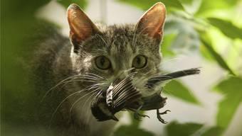 Streunende Katzen sollen kastriert werden, so eine Forderung. Doch der Ständerat lehnt dies ab.