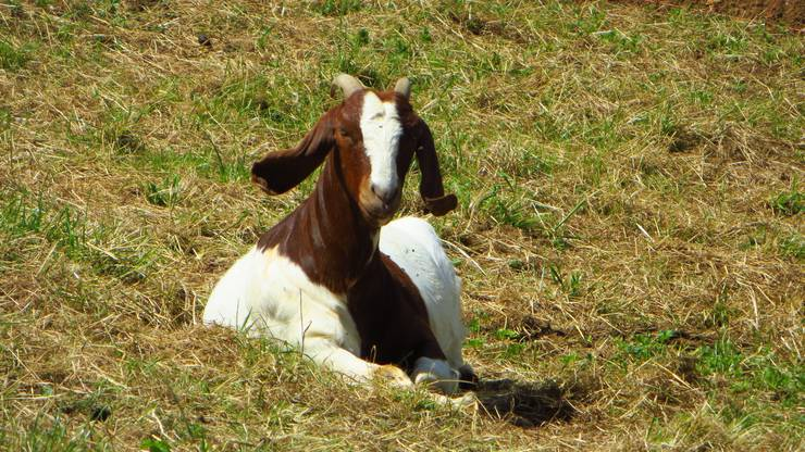 Auch die Begrüssung durch eine Ziege vom Landwirt vom Schillingsrain ist möglich. So wie hier ersichtlich.