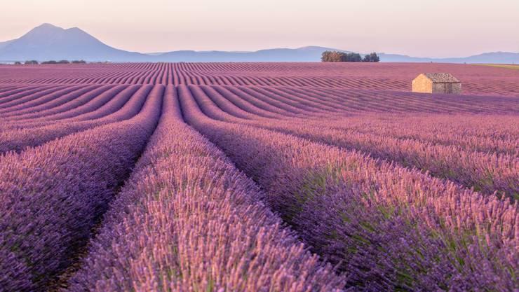 Lavendel, so weit das Auge reicht.