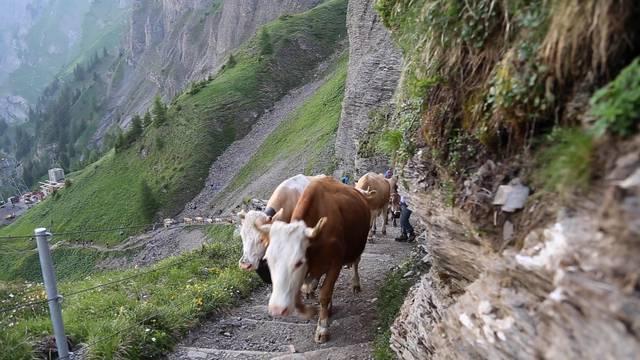 Spektakuläre 600 Höhenmeter: Diese Kühe müssen klettern, um auf ihre Alp zu kommen