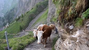 Wunderschön und tierisch stark: Die Kühe, Rinder und Kälber beim Alpaufzug auf die Engstligenalp.