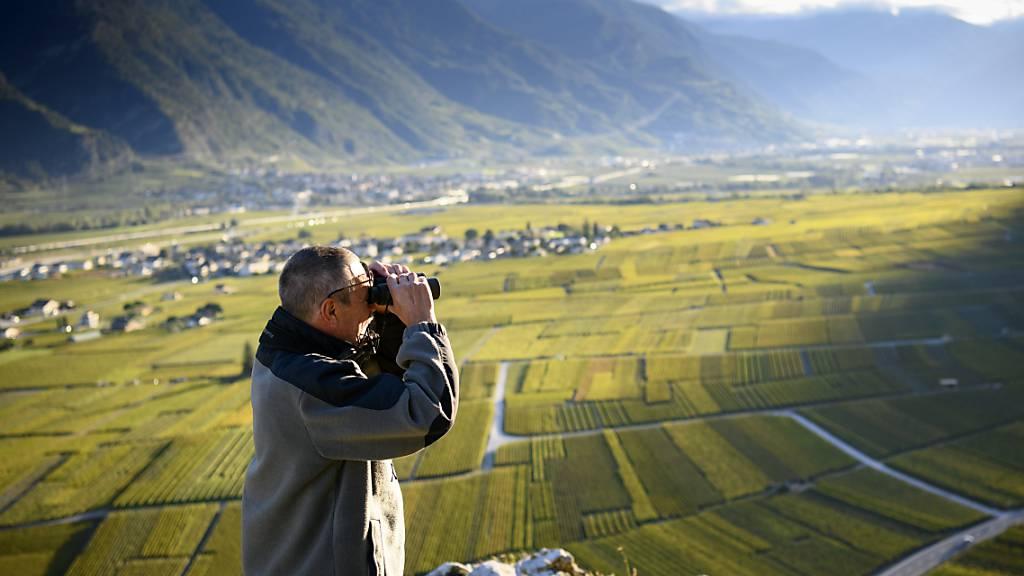 Überwachung am Tage: ein Wächter sucht die Weinberge in Chamoson mit dem Feldstecher nach möglichen Dieben ab.