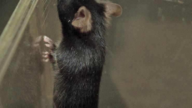 Eine Volksinitiative will Tierversuche verbieten. Sie ist am Dienstag in Bern lanciert worden. (Symbolbild)