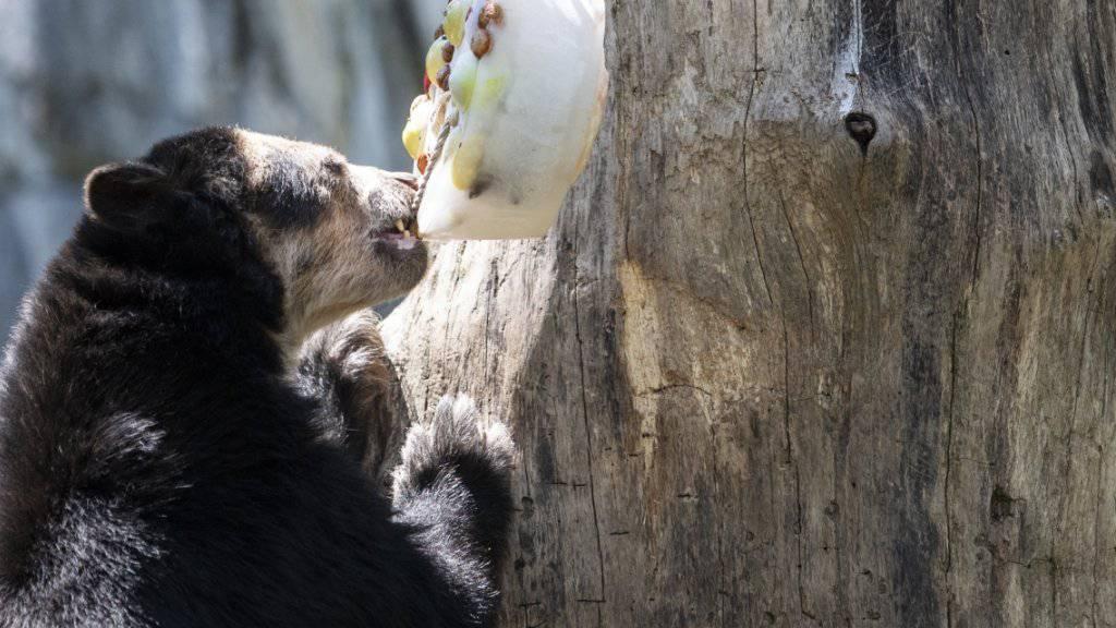 Ein Jahr für Glace: Ein Brillenbär knabbert im heissen und trockenen Sommer 2018 an einem Eisklotz mit gefrorenem Futter im Zoo Zürich. 2018 war nördlich der Alpen das wärmste seit Messbeginn. (Archivbild)