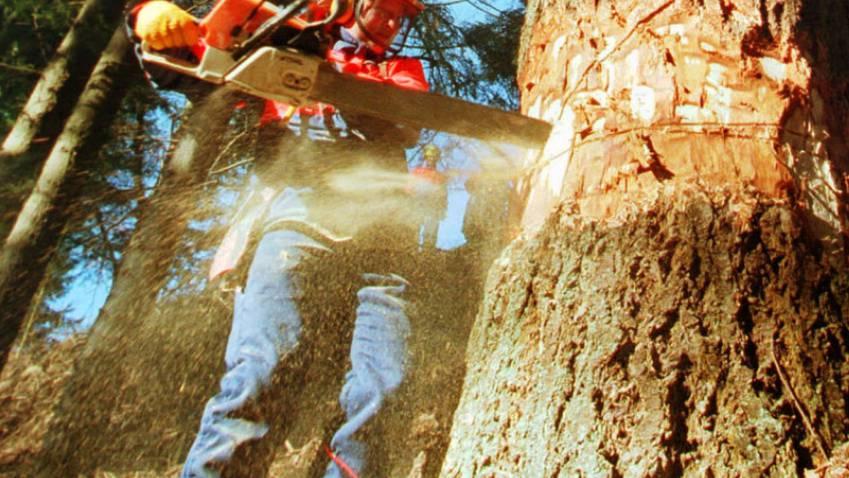 Junge Männer fällen nach dem Ausgang Bäume über die Strasse