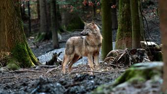Ein Wolf ist bei Bonaduz von einem Zug der Rhätischen Bahn erfasst und getötet worden.