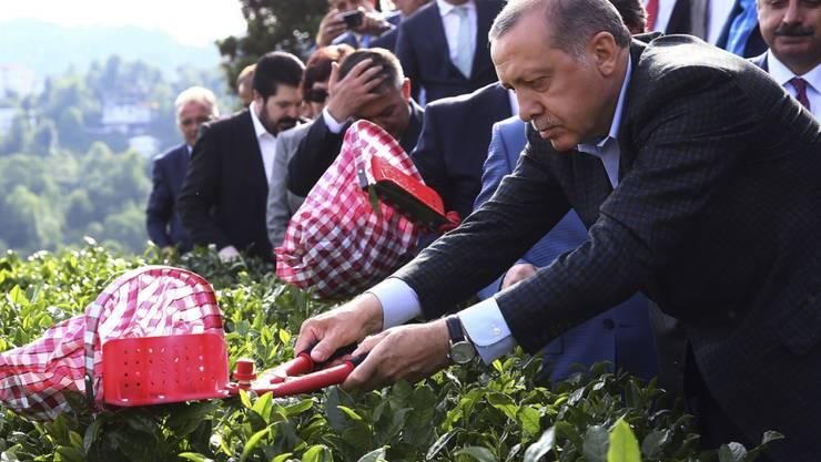 Der türkische Präsident Recep Tayyip Erdogan bei der Tee-Ernte: Weil er eine Änderung des umstrittenen Anti-Terror-Gesetzes ablehnt, kann die Visafreiheit für Türken wohl nicht mehr in diesem Jahr umgesetzt werden.