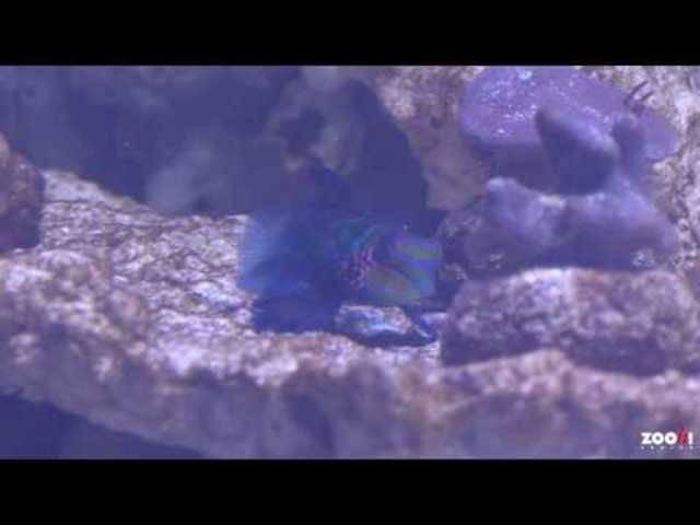 Neues Aquarium: Erster Einblick in das Becken zum Lebensraum «Seegraswiesen im Indopazifik» mit Mandarinfisch und Rasiermesserfisch.