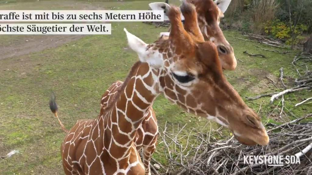 Die klein-grossen Giraffen des Zoo Zürich