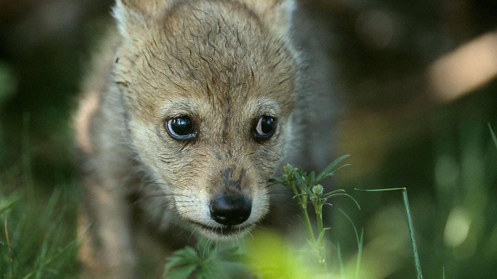 Wolf-Nachwuchs im Waadtländer Jura