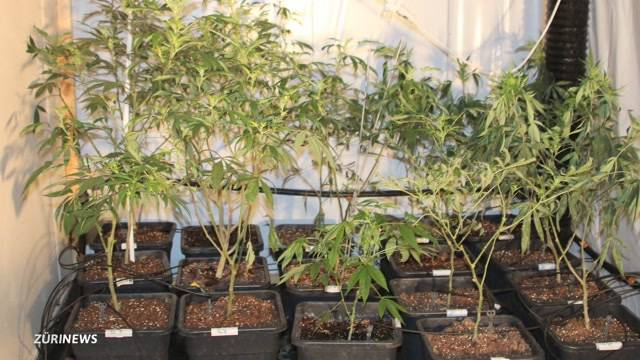 Hanf-Grosi mit 360 Pflanzen erwischt