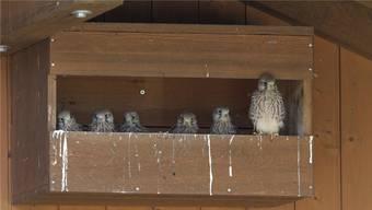 Gleich sechs junge Turmfalken sind in Rüfenach in einem Falkenkasten geschlüpft.