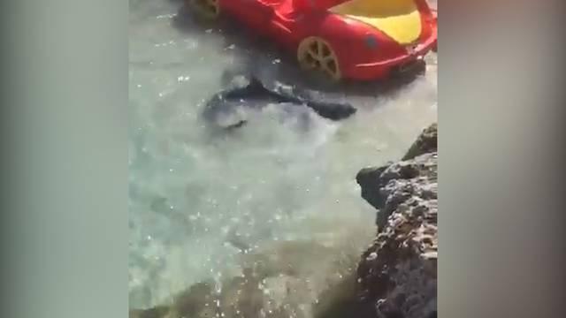 Mallorca: Hai verirrt sich an Touristenstrand