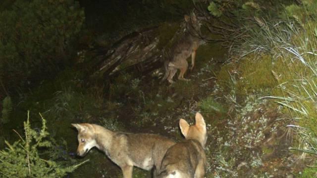 Aufnahme einer Fotofalle von Wölfen des Calanda-Rudels (Archiv)