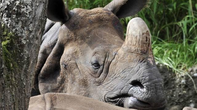Sieht gemütlich aus, ist aber sehr gefährlich - Nashorn im Zolli.