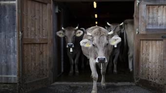 Raus auf die Weide: Kühe dürfen nicht nur im Stall gehalten werden. Wer bei den Aufzeichnungen schummelt, muss auf einen Teil der Direktzahlungen verzichten. (Archivbild)
