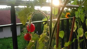 Die Tomatenstaude zeigte sich vom künstlichen Schatten wenig begeistert. (Symbolbild)