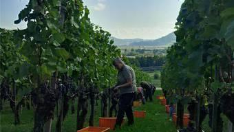 Im Rebberg Steinbruch in Villigen waren zahlreiche Helfer im Einsatz, um die reifen Pinot-noir-Trauben zu lesen. zvg