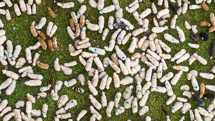 Jedes sechste Schaf in der Schweiz leidet unter der Moderhinke: Artgenossen in einem traditionellen Steingehege im Wallis. (Archivbild)
