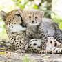 Die kleinen Geparde im Basler Zolli