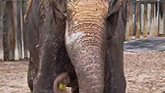 Elefantendame Vilja im Stuttgarter Zoo (Bild: www.wilhelma.de)