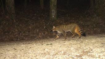Eine phänotypische Wildkatze aus dem Bucheggberg vom 28. Februar 2019