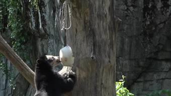 Im Zoo Zürich dürfen die Brillenbären genüsslich Glacé schlecken. An heissen Tagen wie diesen, frieren die Pfleger das Futter für die Tiere ein. Auf dem Speiseplan stehen Früchte, Gemüse und je nach Tierart auch Fleisch. Die Tiere schätzen die Abkühlung und werden gleichzeitig beschäftigt.