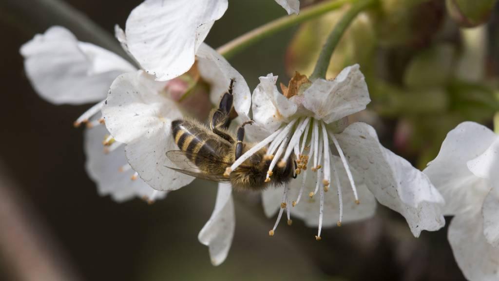 Sinkender Bestand an Wildbienen bedroht Ernten in Nordamerika