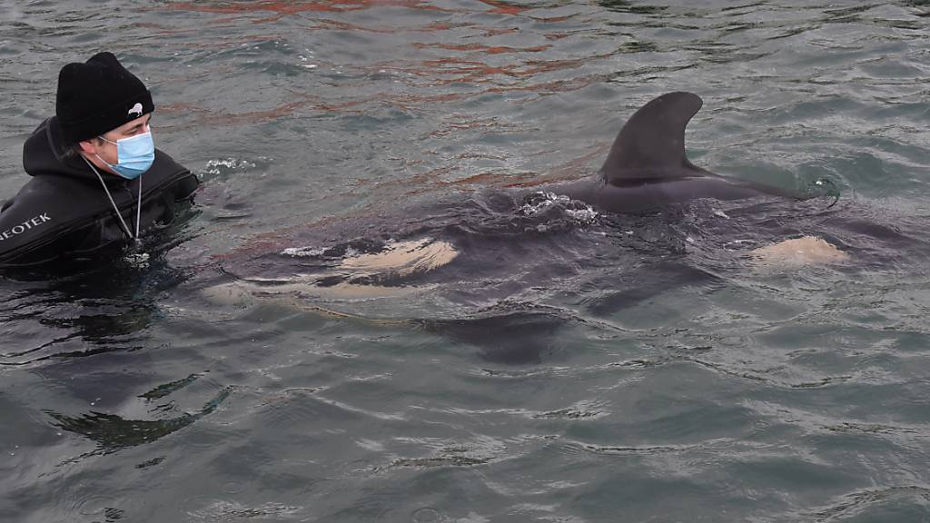 Volunteers help care for a baby orca who has lost its family in Wellington, New Zealand, Tuesday, July 13, 2021. (AAP Image/Ben McKay) NO ARCHIVING