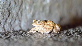 Besonders vom Verkehr gefährdet: Erdkröten, die auf den warmen Strassen sitzenbleiben.