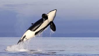 Meere sind essenziell im Kampf gegen die Klimaerhitzung. Selbst Wale - hier ein Schwertwal - spielen in diesem Zusammenhang eine tragende Rolle. Greenpeace fordert deshalb, dass 30 Prozent der Meere in Schutzzonen umgewandelt werden. (Archivbild)