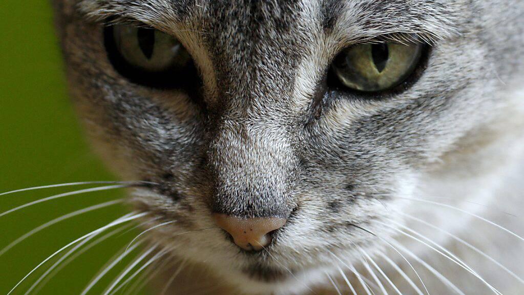 Mit Toxoplasmen infizierte Katzen scheiden infektiöse Oozysten in die Umwelt aus. Zürcher Forschende entwickelten nun ein Lebendvakzin gegen den mikroskopisch kleinen Erreger.(Archivbild)