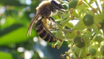 Eine Efeu-Seidenbiene.  zg