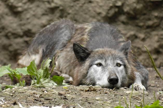 Wölfe: Nicht genug Platz haben auch die beiden Wölfe. Das Gehege hätten die Tiere, die in der freien Wildbahn weite Wege zurücklegen, in wenigen Augenblicken erkundet.