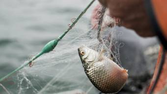 Den Bodensee-Fischern gehen immer weniger Fische ins Netz (Archiv)