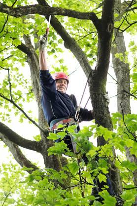 Dominique Christen hat keine Höhenangst. An diesem Ahornbaum muss er ein paar Äste absägen.