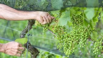 Mit 79 Millionen Litern fuhren die Schweizer Winzer vergangenes Jahr die seit 1978 kleinste Ernte ein. (Symbolbild)