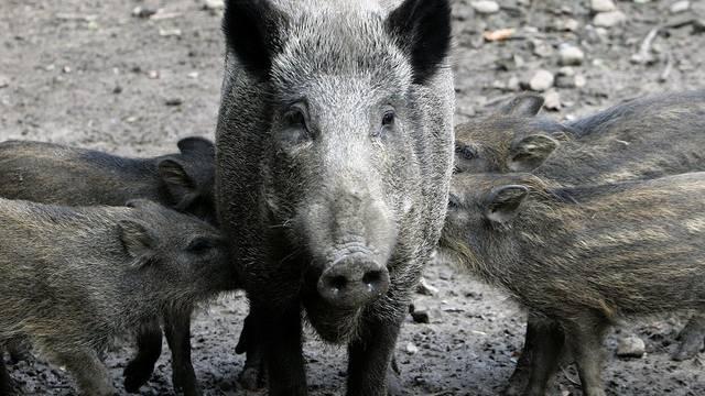 Wildschweine leben im Kanton Freiburg gefährlich (Archiv)
