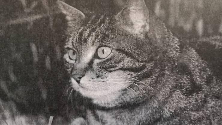 Die Katze «Tiger Woods» (Bild) wurde in Buchs von einem Töffli überfahren.