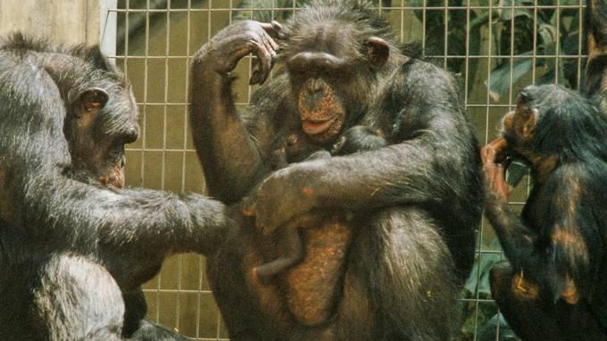 Die Schimpansen im Zolli mussten von Colebe Abschied nehmen.