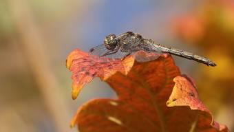 Libelle in der Herbstsonne