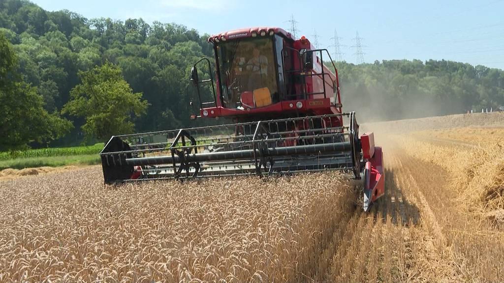 Dauerstress: Das Getreide ist reif, die Mähdrescher arbeiten auf Hochtouren