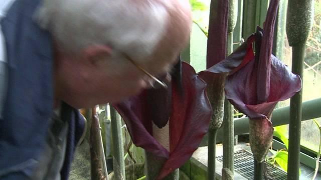 Bestialischer Gestank im botanischen Garten